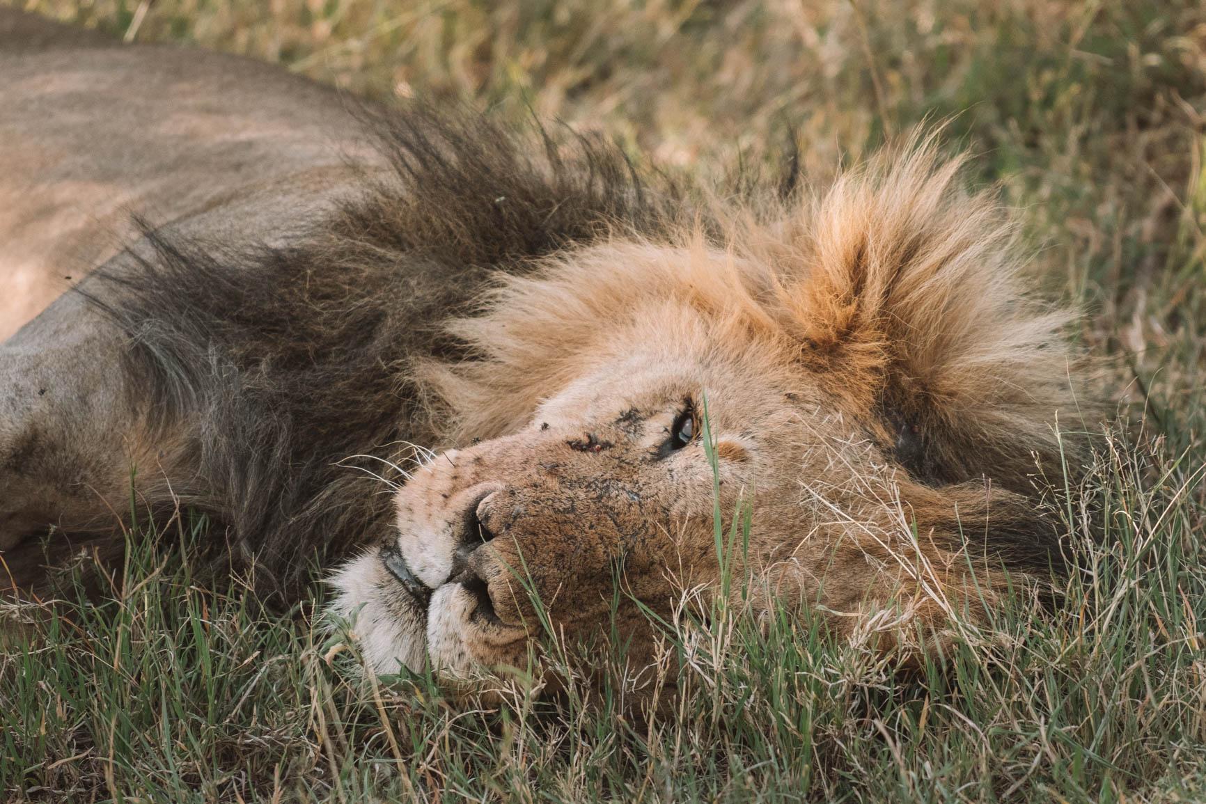 Lion Kenya wildlife safari Maasai Mara Big 5 Luxury lodge