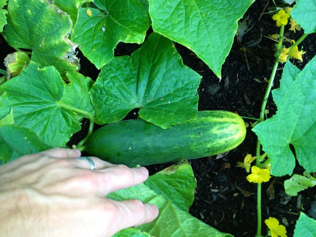 raised-garden-cucumber-e1399348363628.jpg