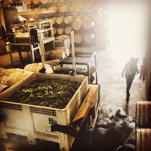 Rise and shine! It's time to make wine! #onlycrashedonce #neverdroppedagrape #rockinrileypony #hubbawines #harvest2019