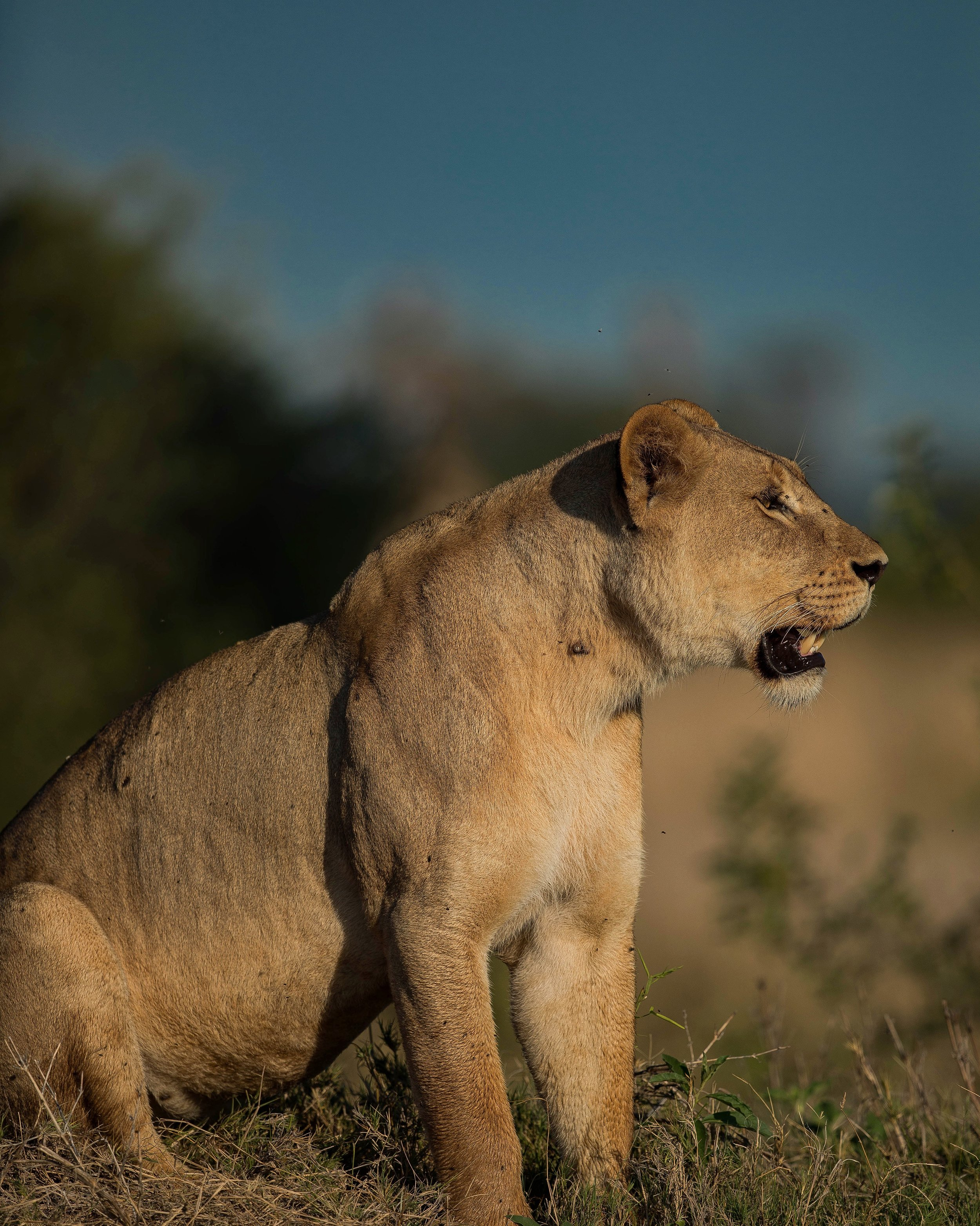 A pregnant Lioness does not get a day off from hunting
