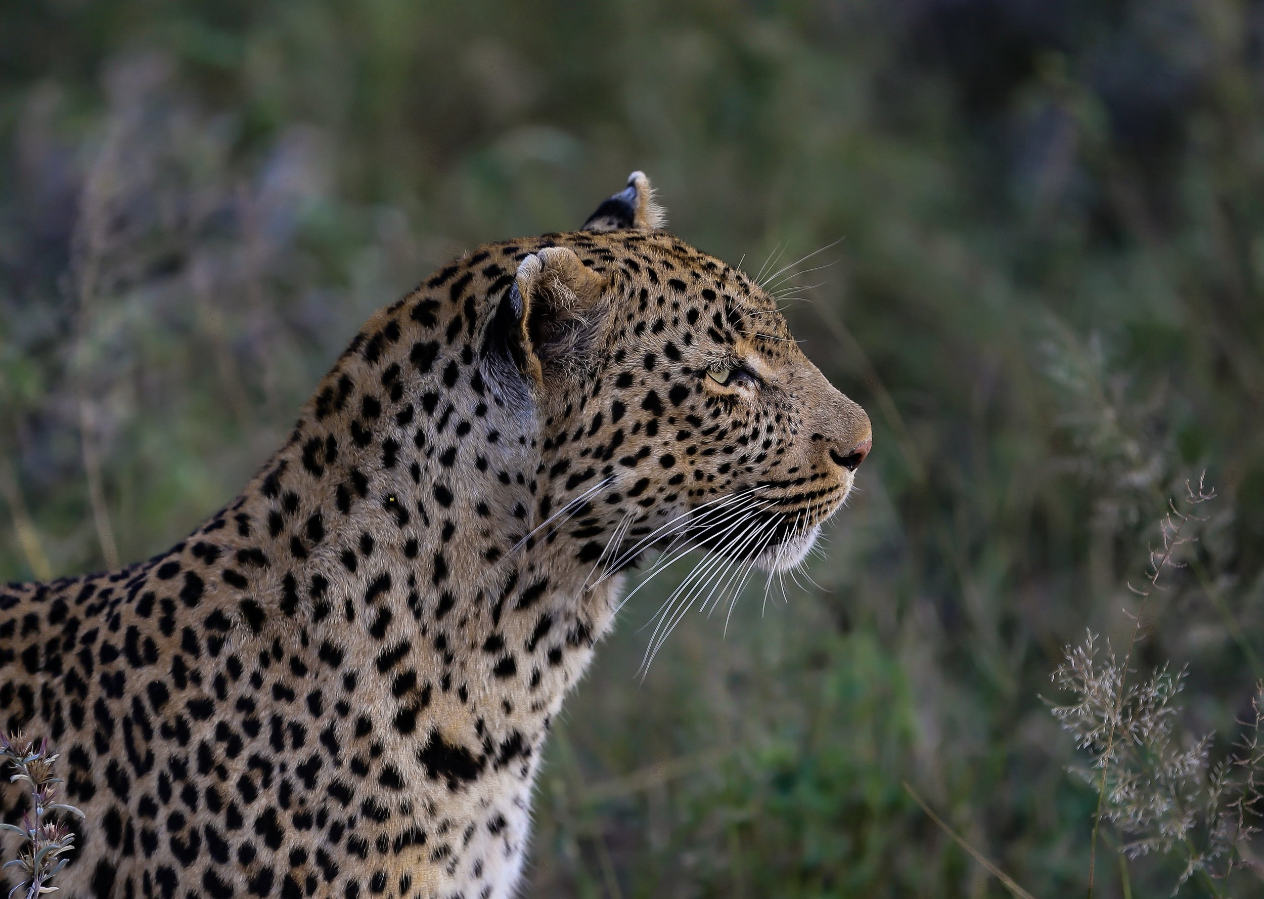 The delicate silhouette of a female leopard at Londolozi, Sabi Sands, South Africa
