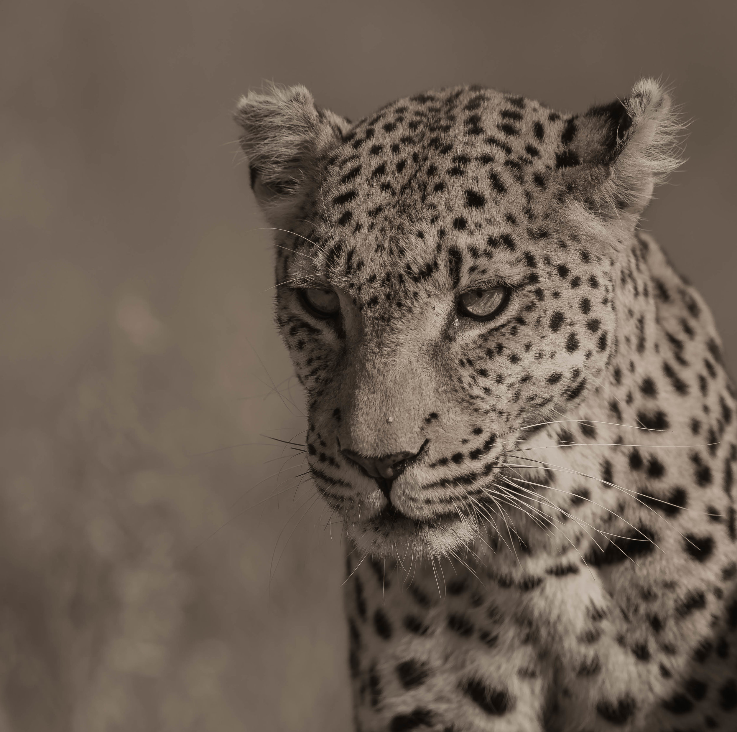 An aging Leopardess in the Okavango Delta