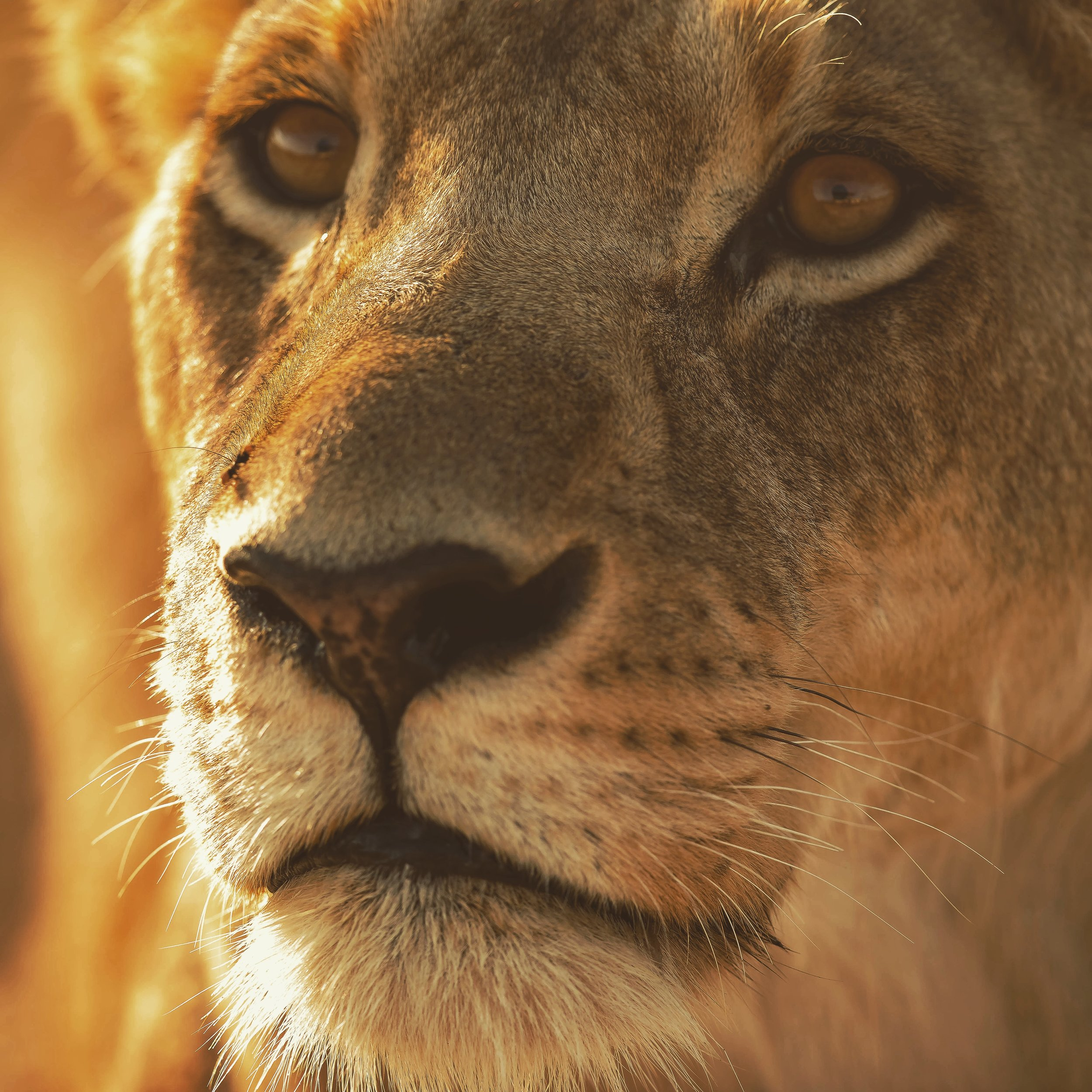 An intent stare of a lioness in the Moremi Game Reserve, Botswana