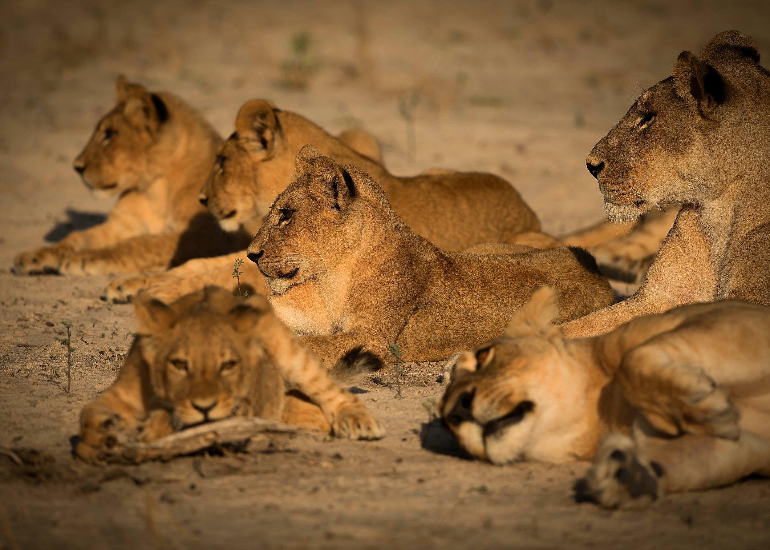 Lion Cub Nursery