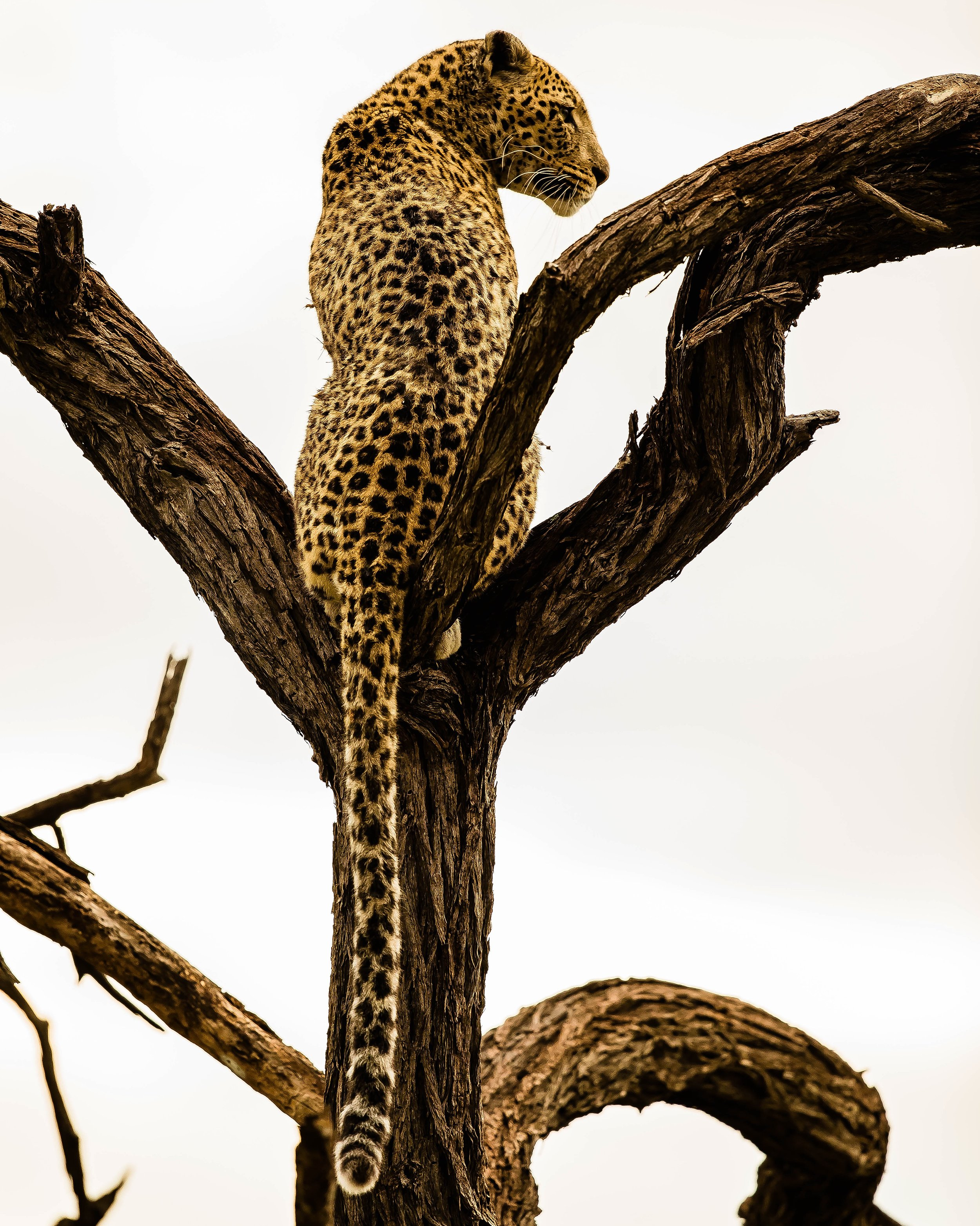 Elegance of a Leopardess