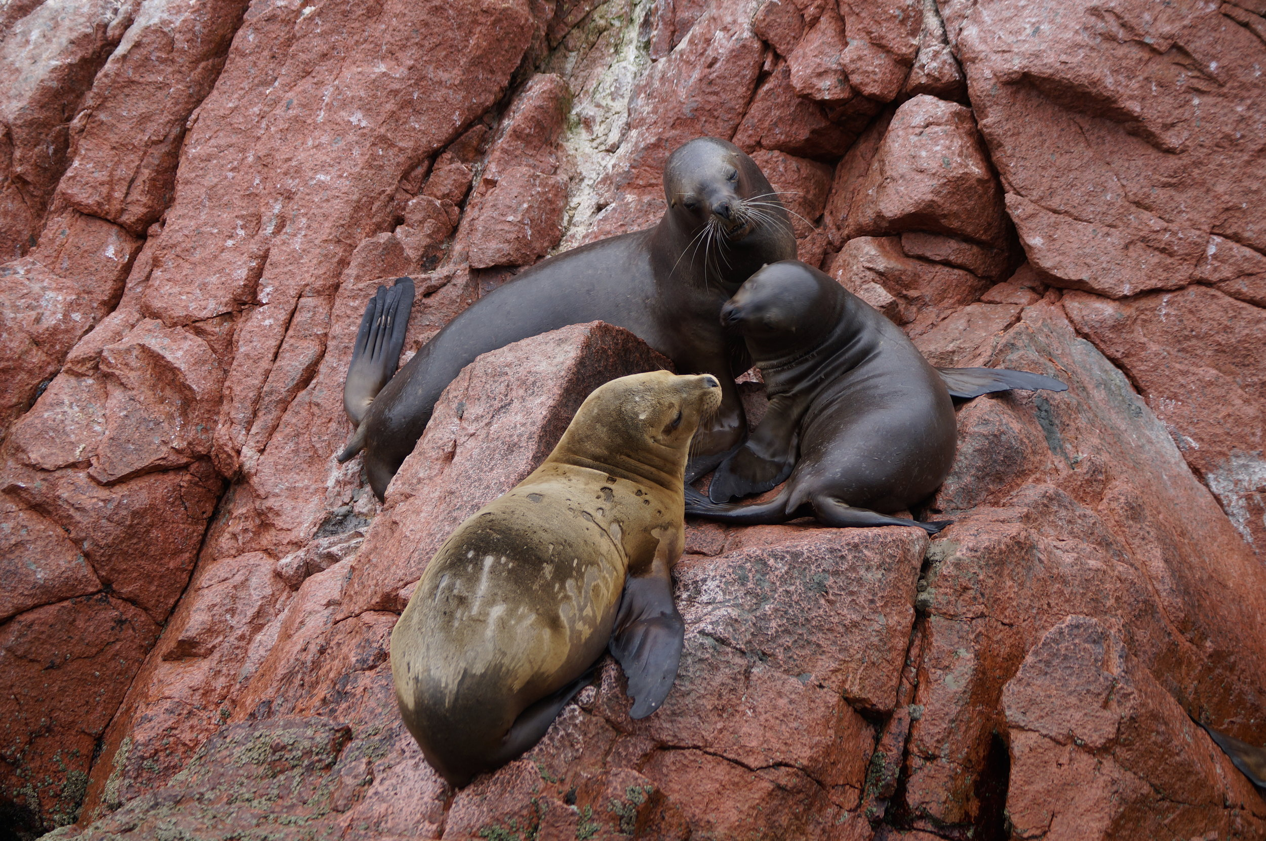 Seelöwen auf der Islas Bellestas