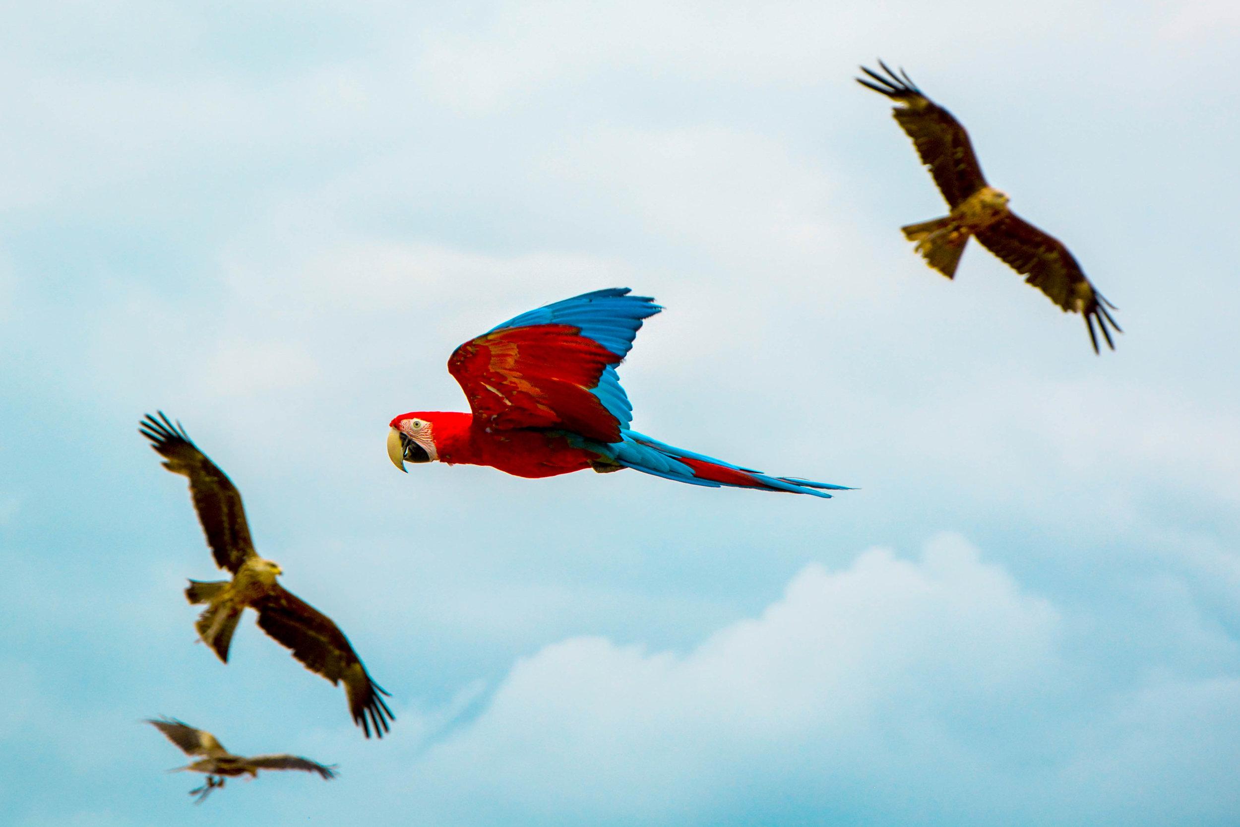 Große Aras im peruanischen Dschungel