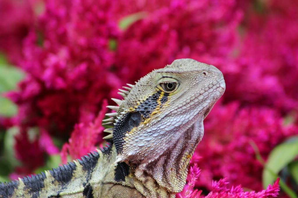 History - Dr Frere established our long-term study of eastern water dragons in sites around Brisbane's CBD in 2010. These dragons are bigger and bolder than their non-urban counterparts. They are also diversifying at rates that allow for the study of evolution in action.Dragons in Brisbane city show significant levels of genetic divergence despite the small geographic distances between parks (<5 km), and significant differences in morphology (body size, head and limb shape and forelimb and hindlimb length) depending on the park they reside in.