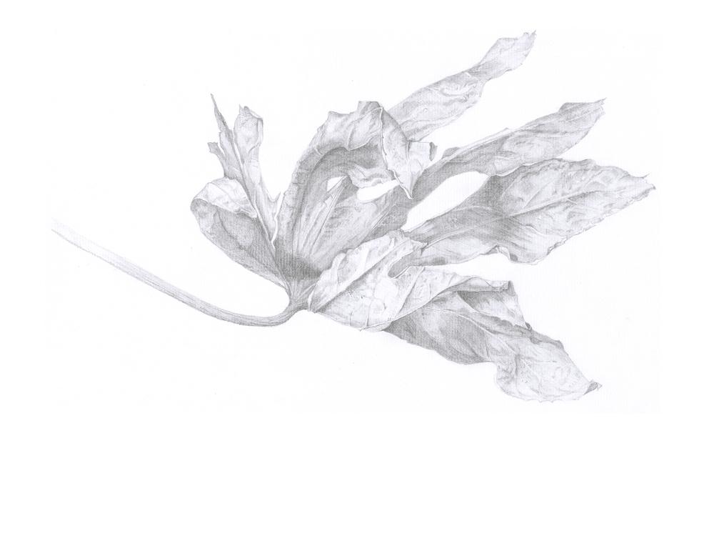 Decaying Aralia Leaf