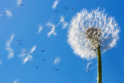 plant_dandelion_blowing_wind.jpg