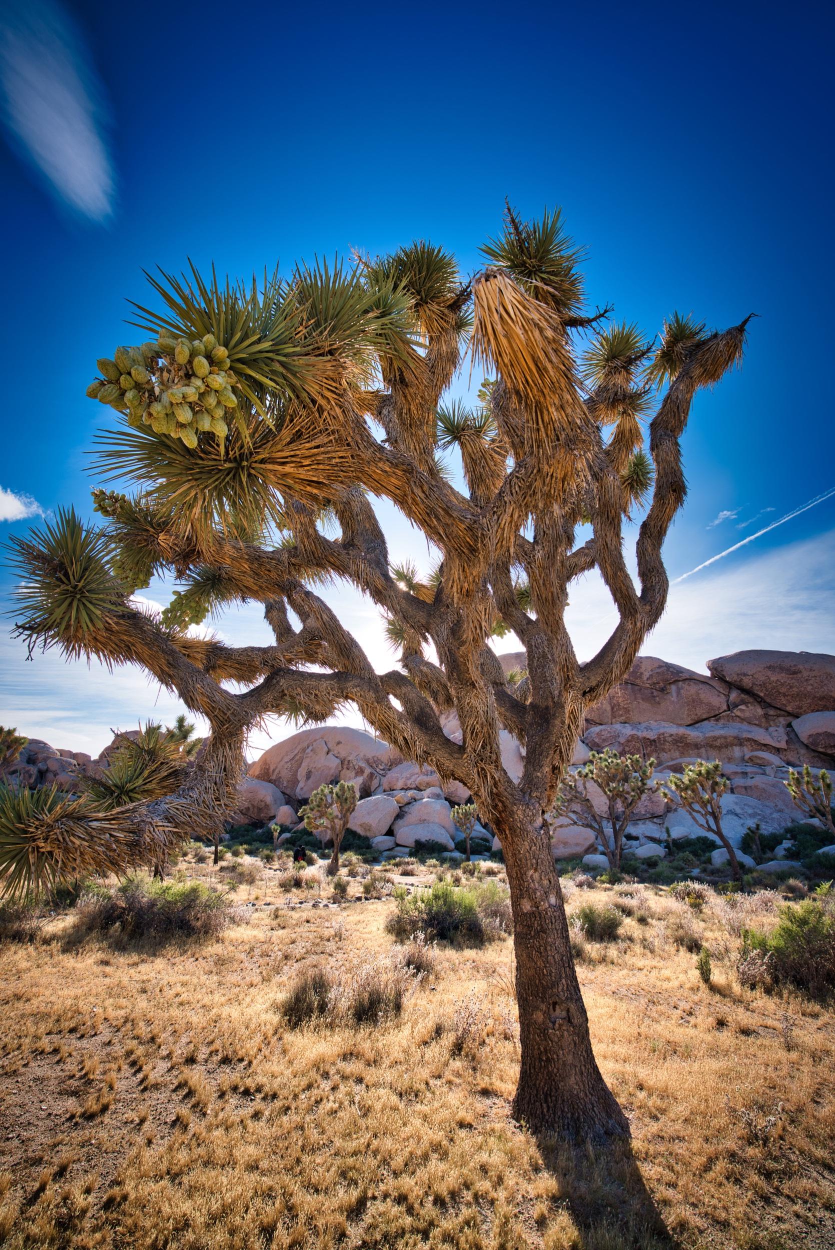 Joshua-tree-5-23-19-12475.jpeg