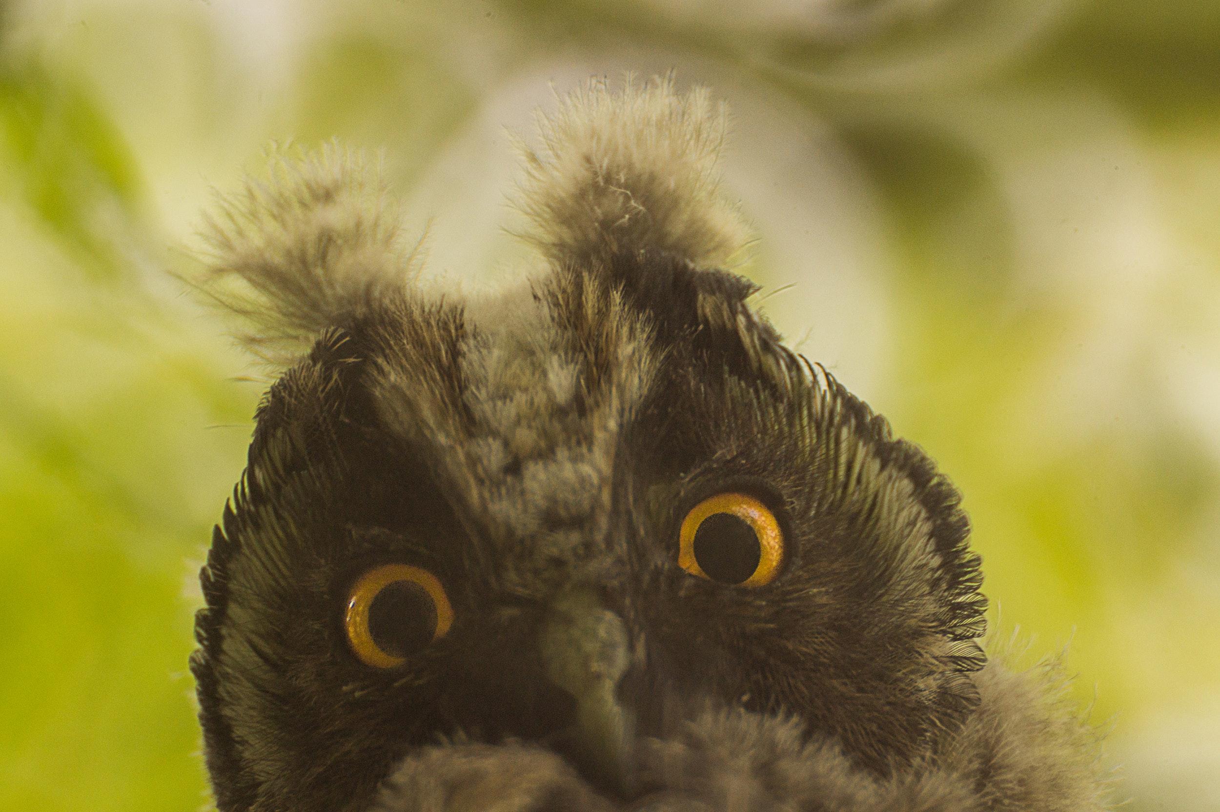 animals-birds-owl-fauna (1).jpg