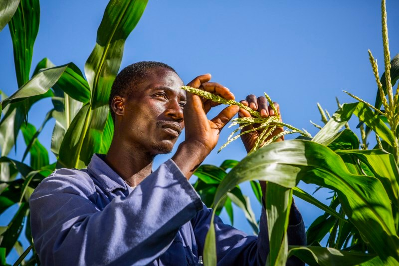 Malawi-Maize-Farming-Development.jpg
