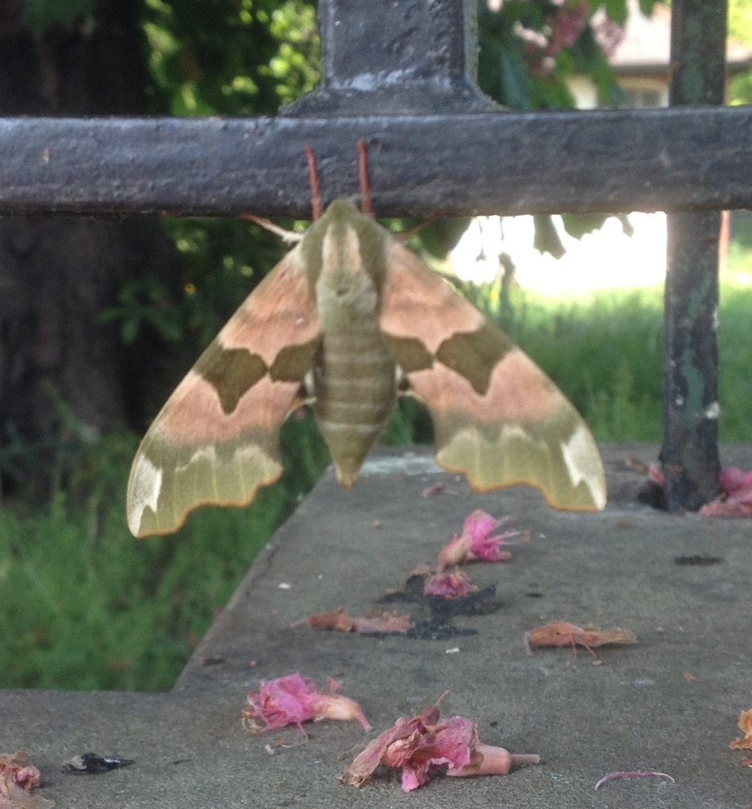 A moth clinging to the Park railings May 2017