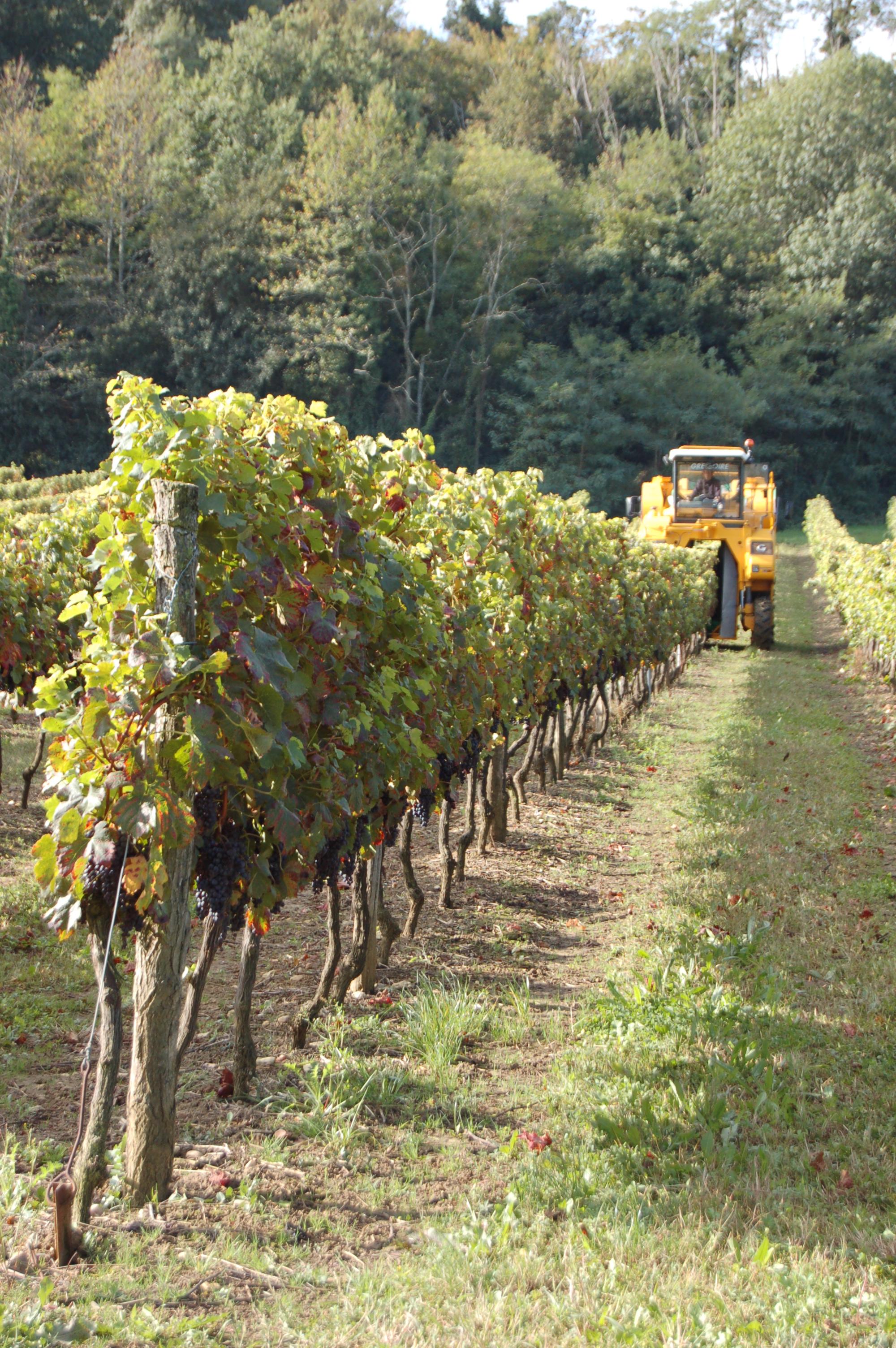 Le vignoble - Situé dans la région de l'Entre-Deux-Mers, sur de magnifiques argilo-calcaires et boulbènes, notre vignoble est constitué d'une cinquantaine d'hectares.Depuis 1996, date de notre arrivée, Stéphane n'a cessé de renouveler le vignoble.Il a augmenté la densité de plantation et équilibré les proportions des différents cépages.Cépages Rouge : Merlot : 27.06 Hectares – Cabernets Sauvignon : 7.73 Hectares Cabernet Franc : 3.00 Hectares.Cépages Blancs : Sémillon : 5.44 Hectares –Sauvignon Blanc : 2.76 Hectares – Sauvignon Gris : 2.36 HectaresMuscadelle : 2.99 HectareLes vendanges sont mécanisées depuis 1971, mon père toujours précurseur fut un des tous premiers à investir dans une machine à vendanger. Vectur était alors leader du marché. Les nouvelles générations de machines effectuent un travail remarquable, et l'intégrité des baies est entièrement préservée.