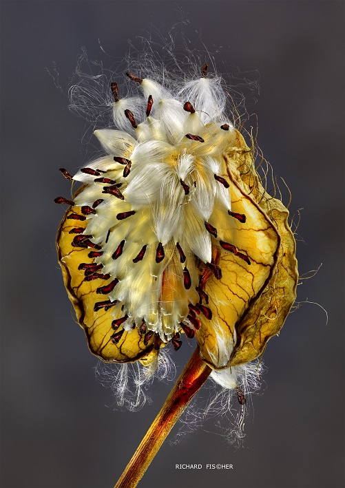 Asclepia Seeds 01BC.jpg
