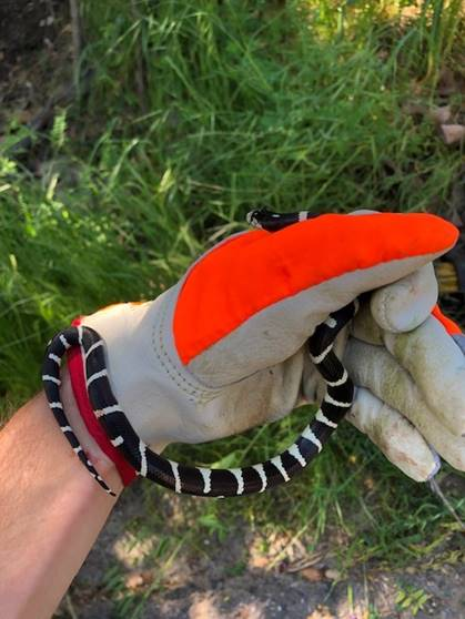 This California Kingsnake was found and released at Montana de Oro State Park on April 13. Photo by Brad Opstad.
