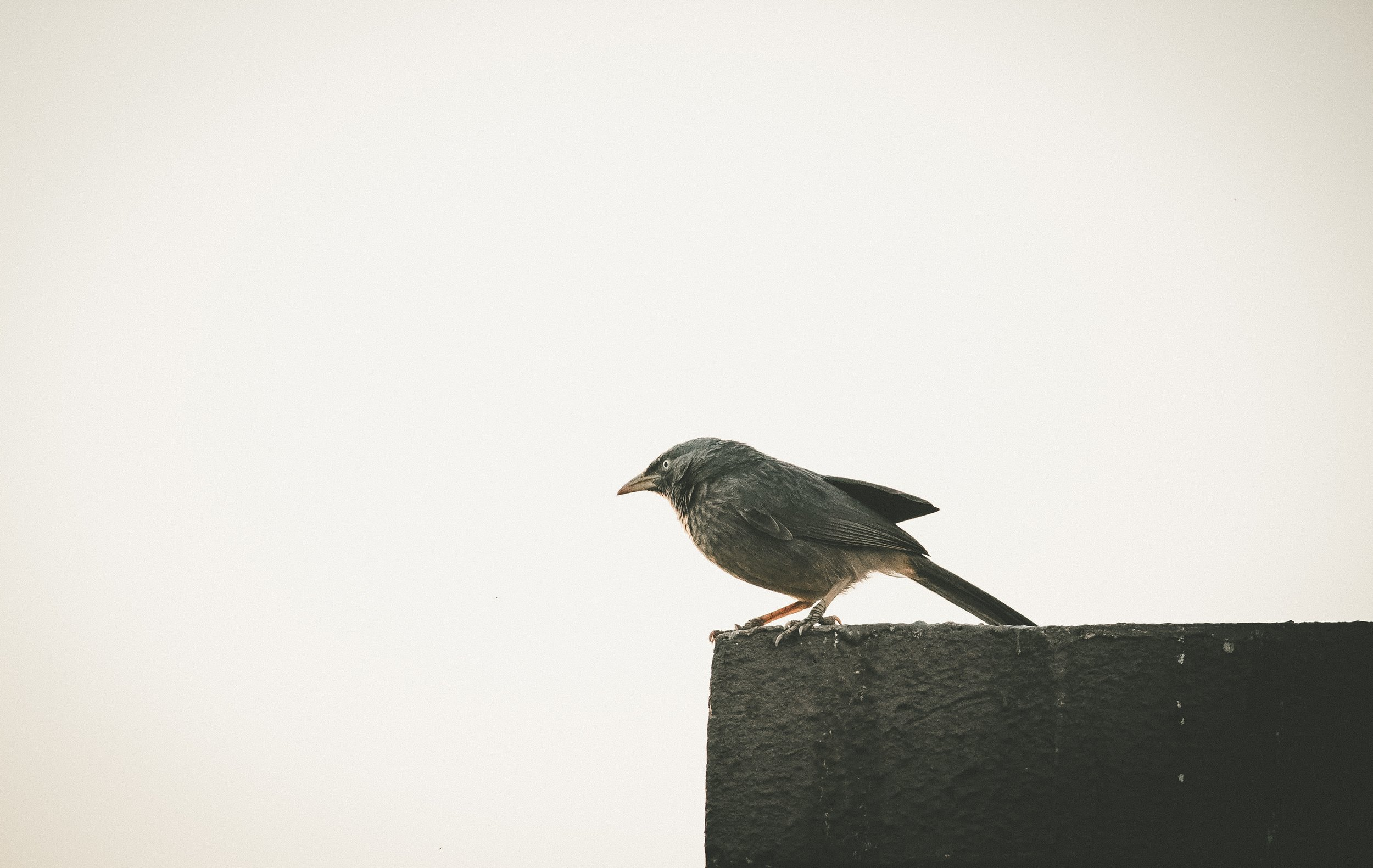 Want to be a blackbird? -