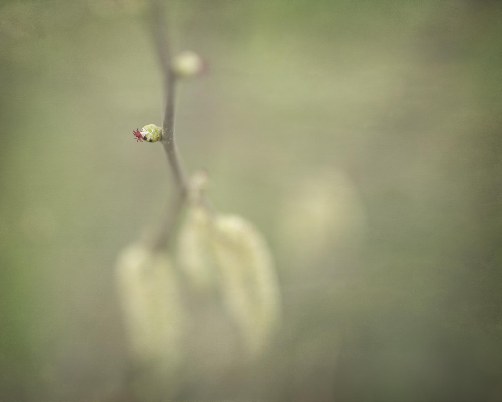 Hazel flower ©Julie Corcoran