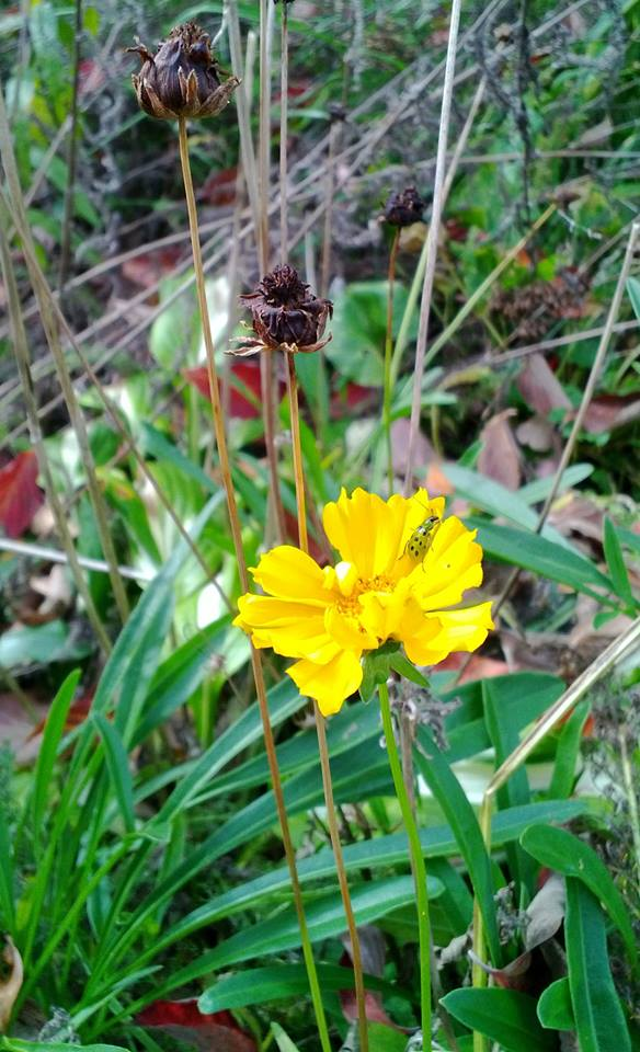 Bettle+on+coreopsis.jpg