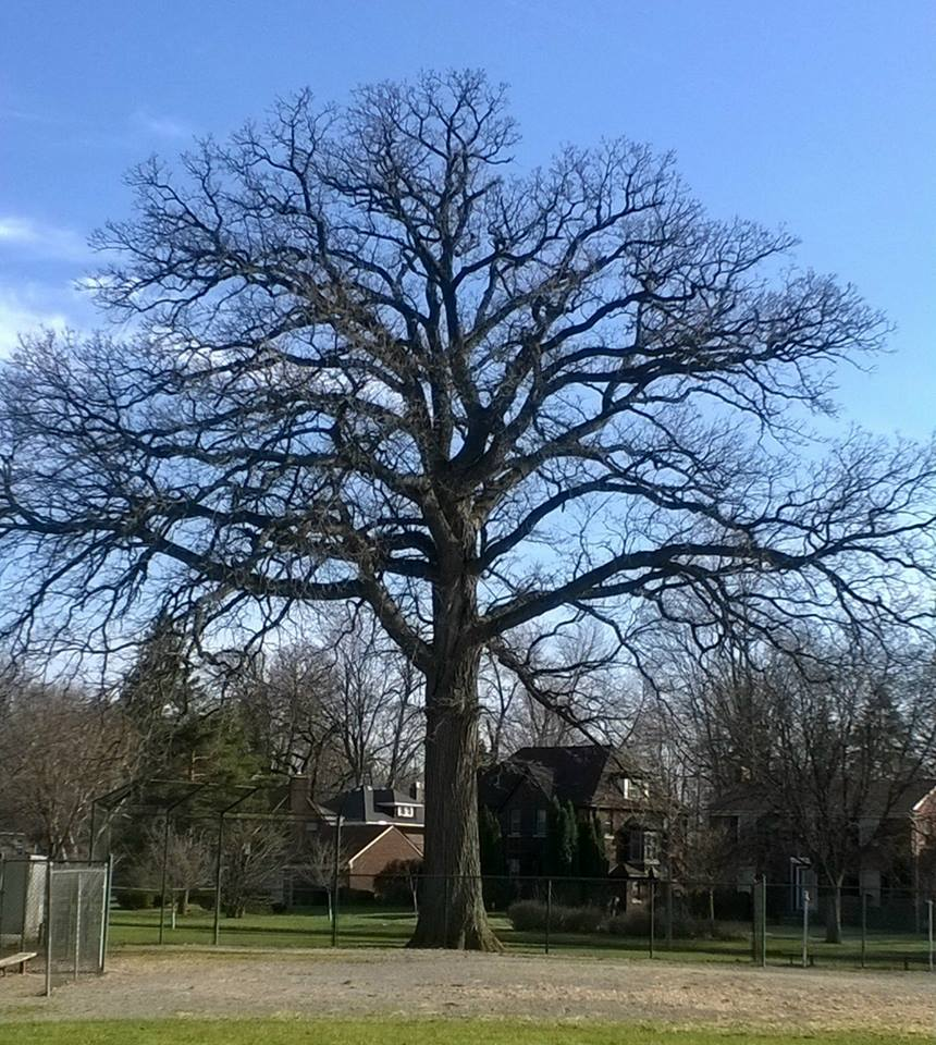 "Very old White Oak living happily in the ""D"""