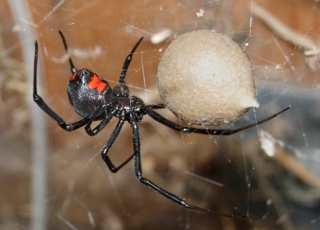 Black widows are shiny black spiders with a red hourglass on the abdomen.