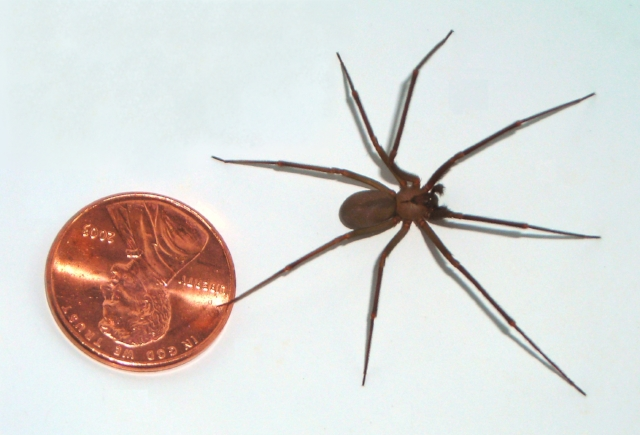 Look for the dark, upside down fiddle on a recluse spider's back.