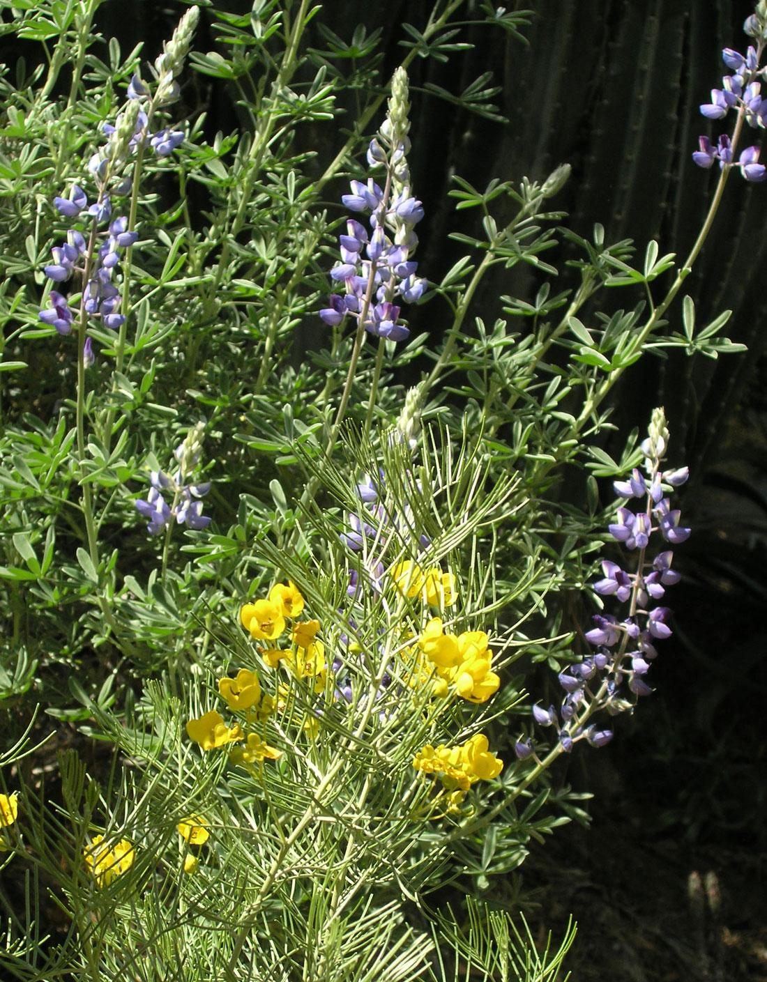 ingarden-bushlupinewcassia