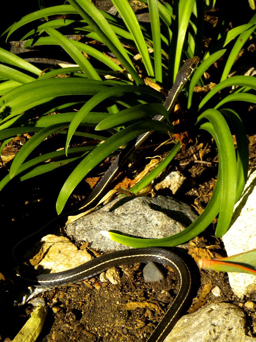 California Whip snake
