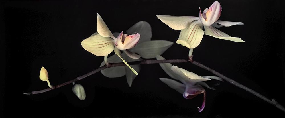 Dendrobium (29 3/4 x 71 1/2)