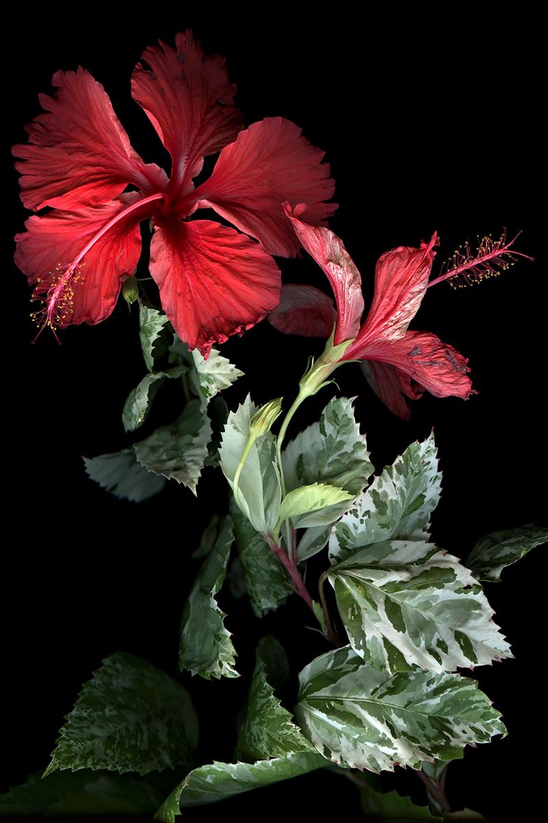 Hibiscus ( 30 x 45)