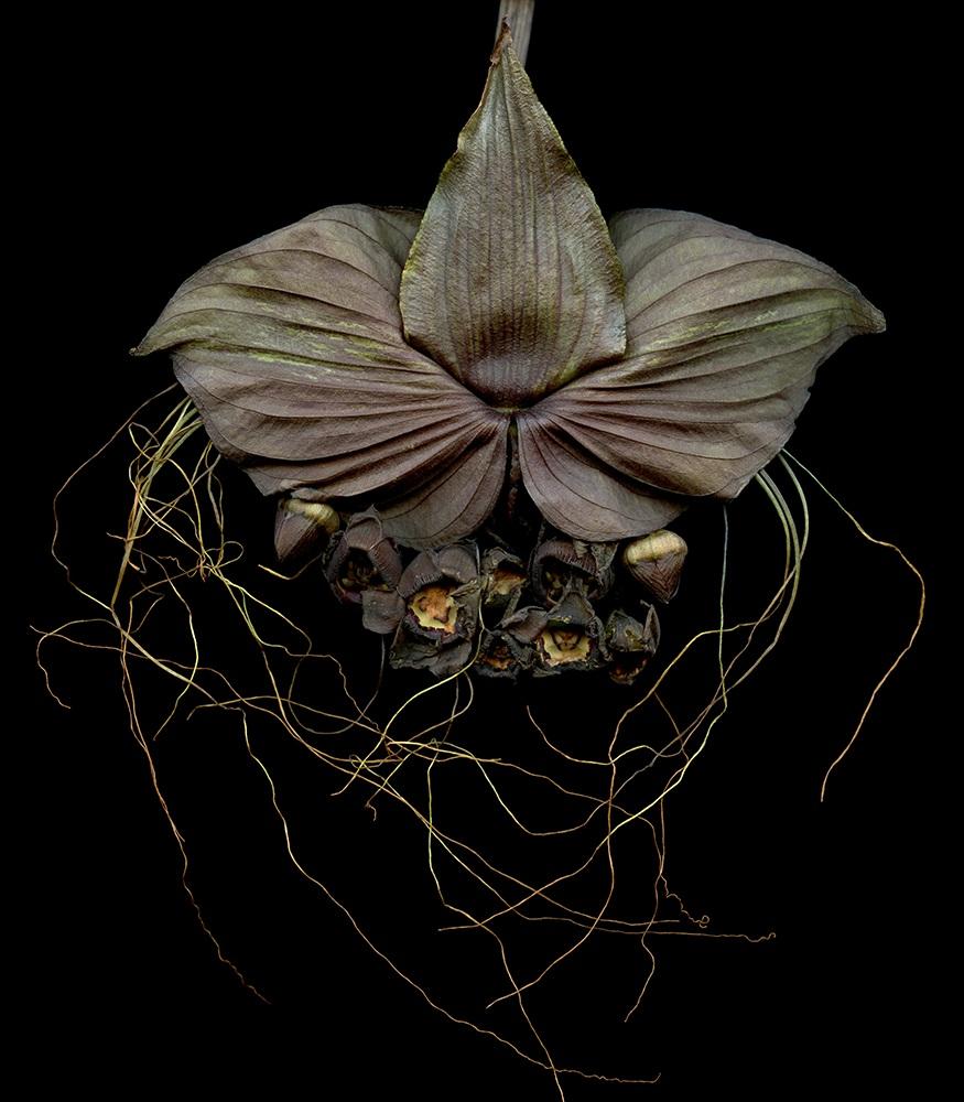 Bat Flowers ( 35 x 40)