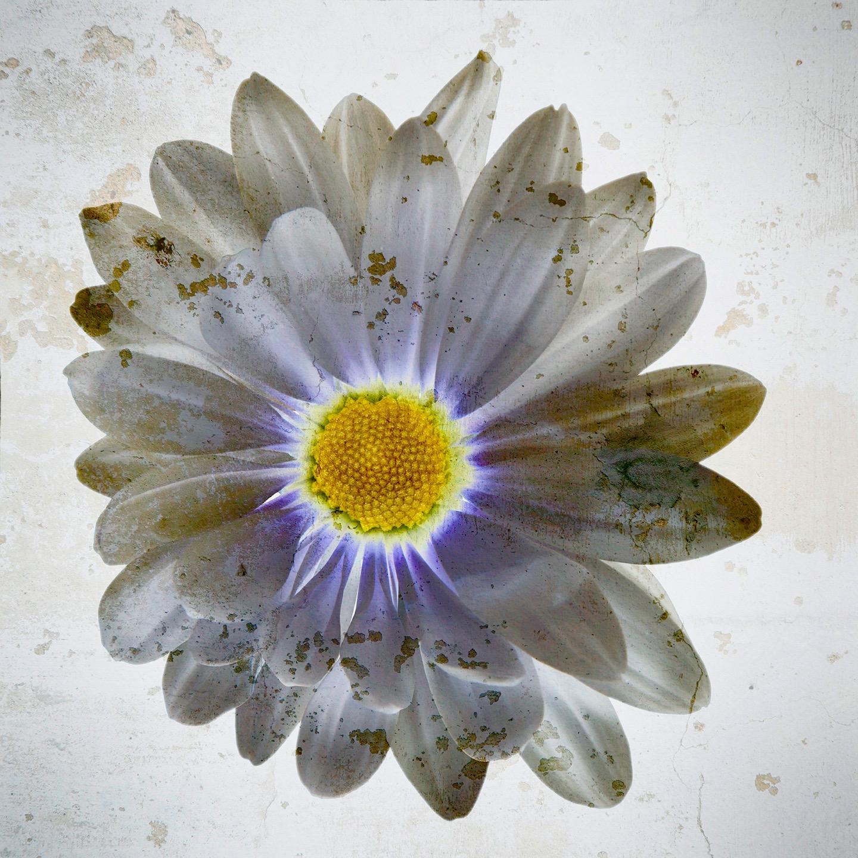 Daisy 6