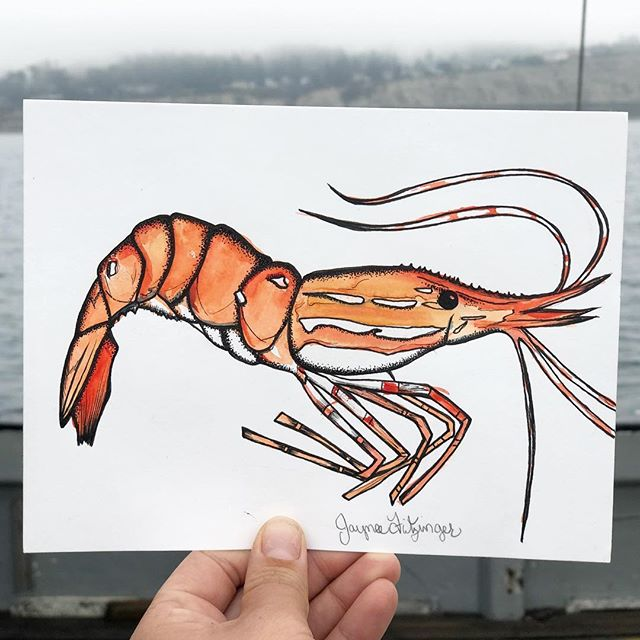 "Little Spot shrimp friend! 6"" x 8"" watercolor and ink to add to the collection. 🦐 🍤 . . . #jayneefritzingerart #shrimp #spotshrimp #alaska #alaskanshrimp #commercialfishing #watercolor #watercolorandink #micronpen #oceanart #originalart #alaskanartist #commercialfishing"