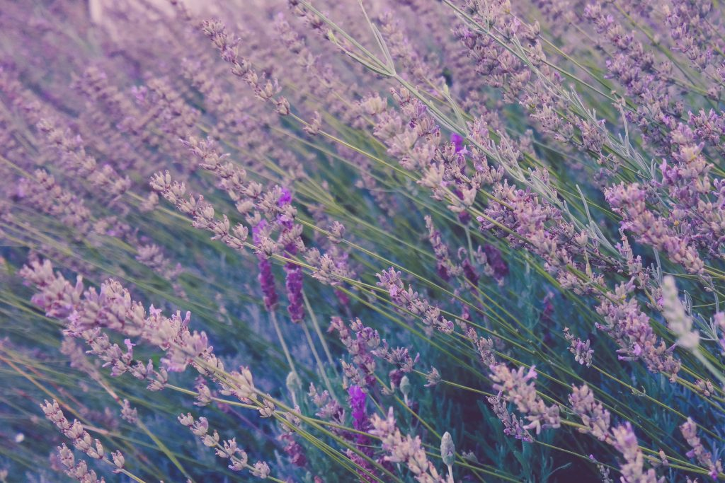 lavender-1024x683.jpg