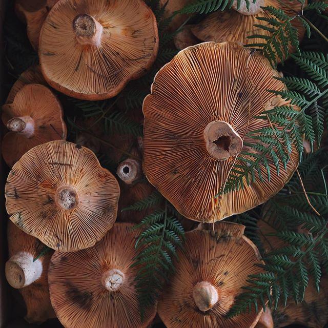 // fresh saffron milk caps: handpicked wild mushrooms found in the blue mountains forests // #circaespresso