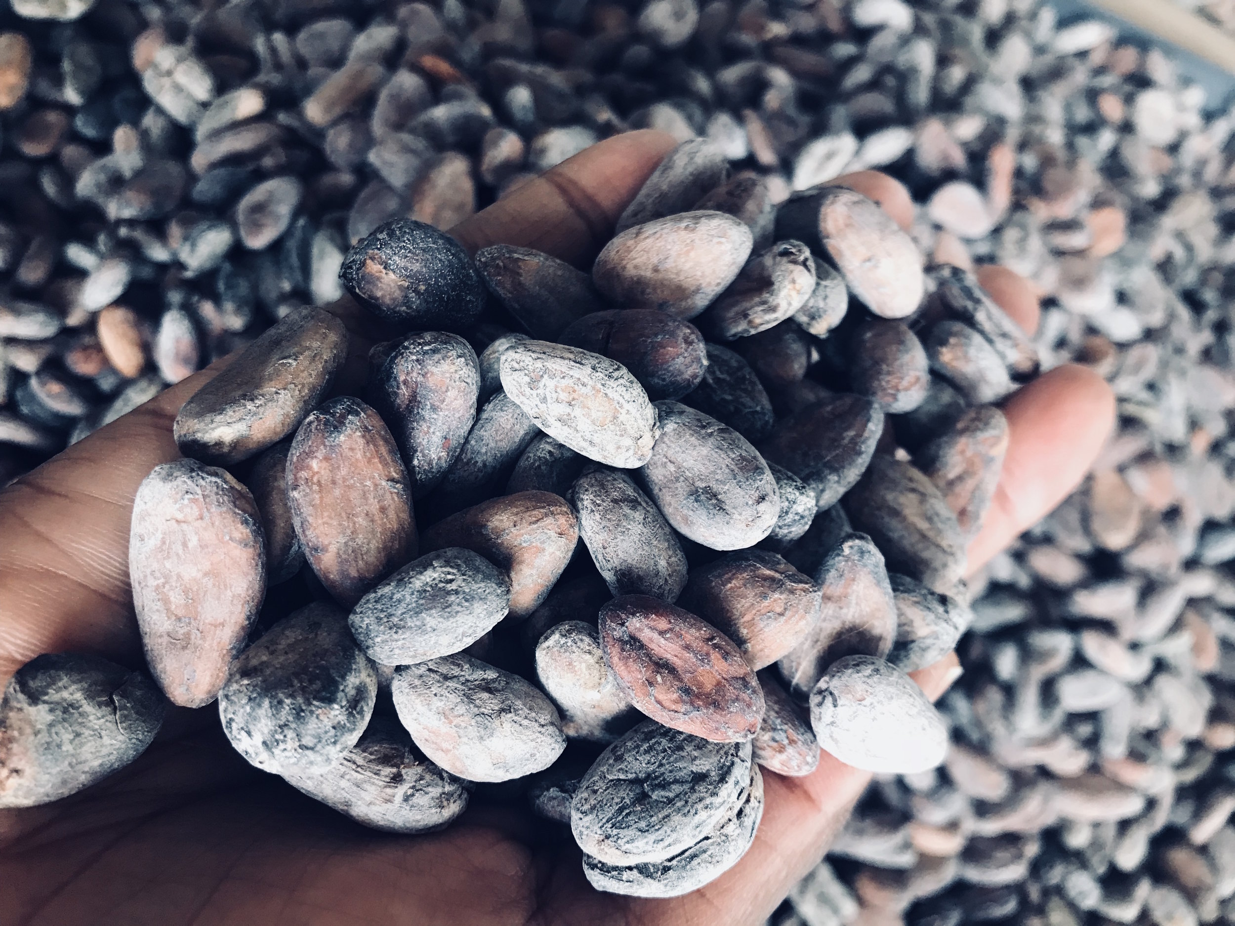 We source the best quality cacao beans