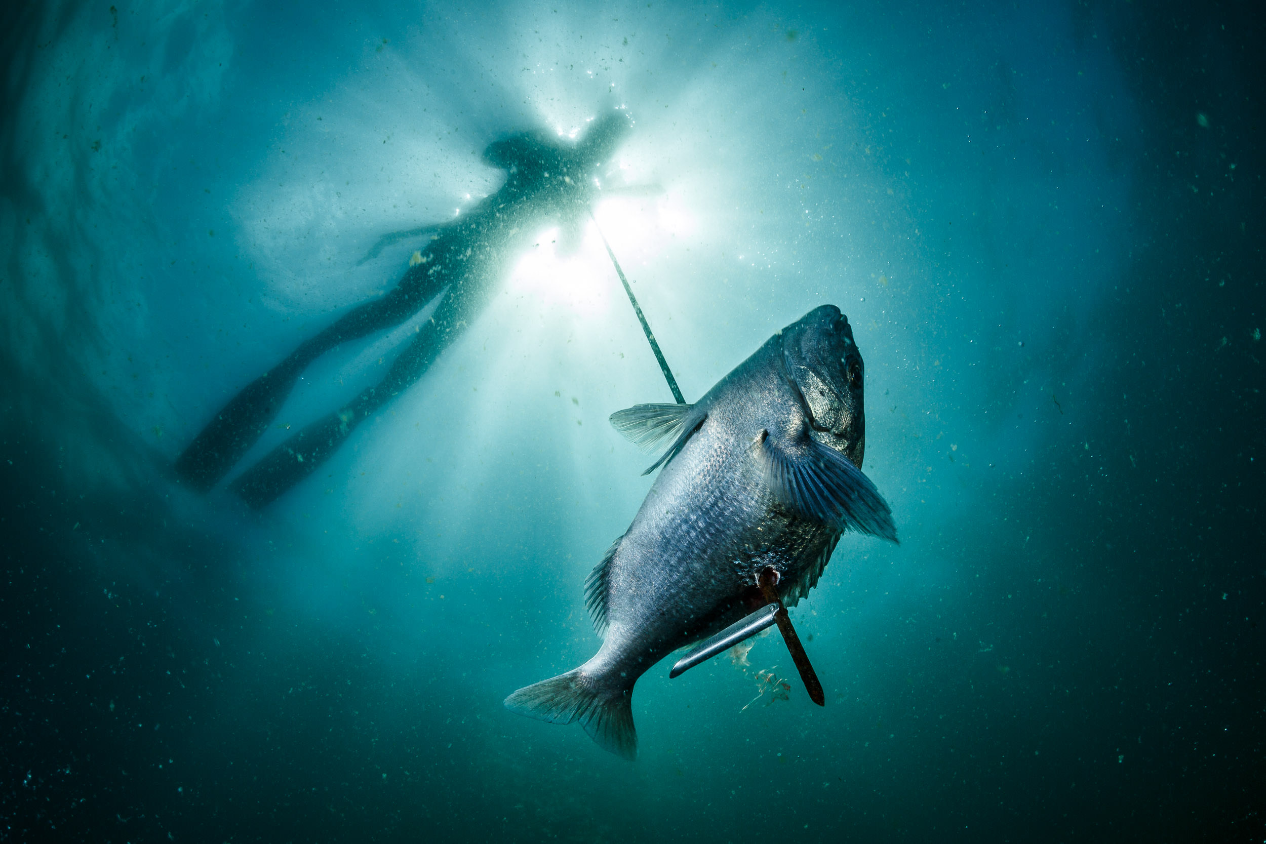 A spearfisherman pulls in a speared Hottentot seabream in False Bay, South Africa