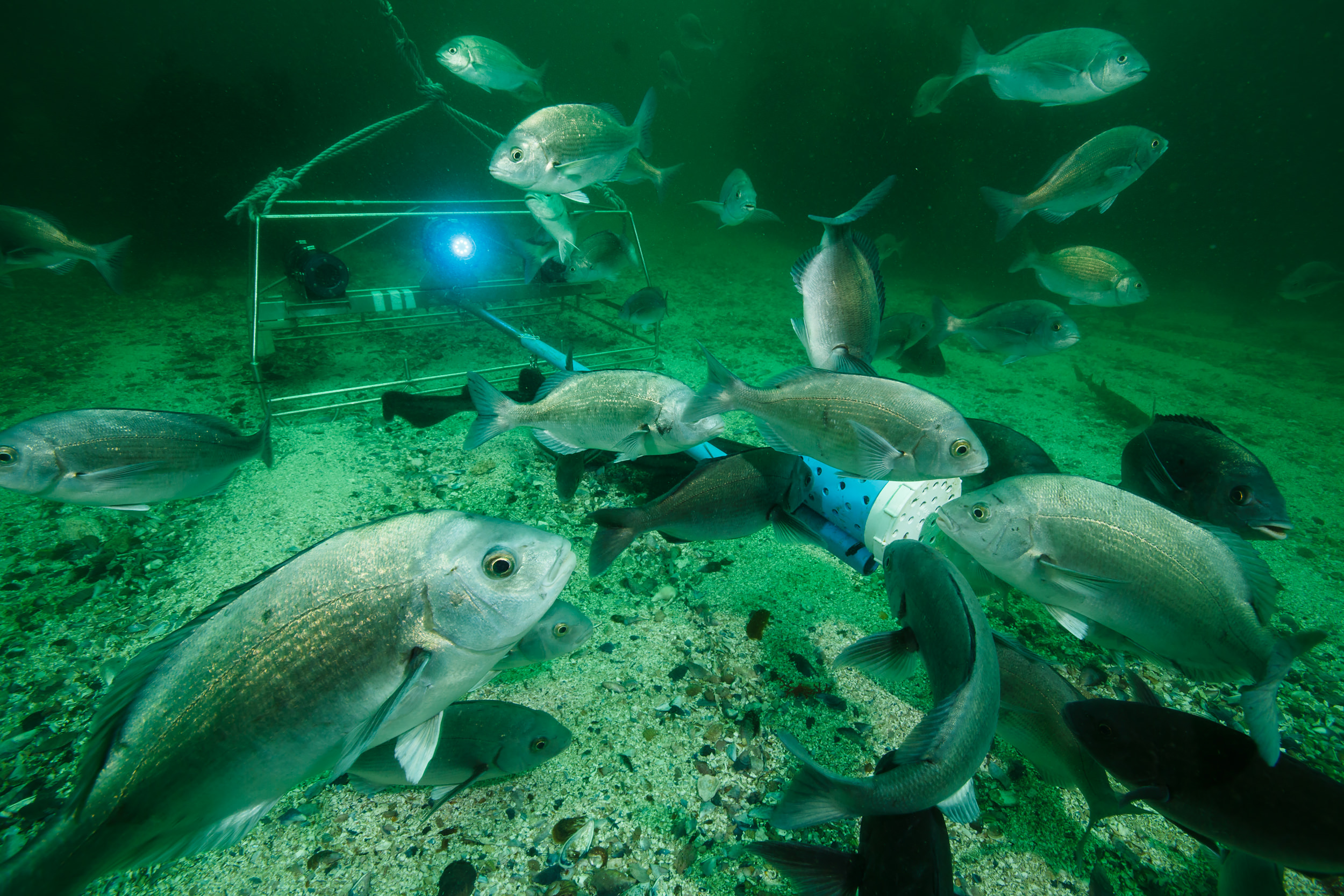 Fish gather around a baited remote underwater video system in False Bay, South Africa