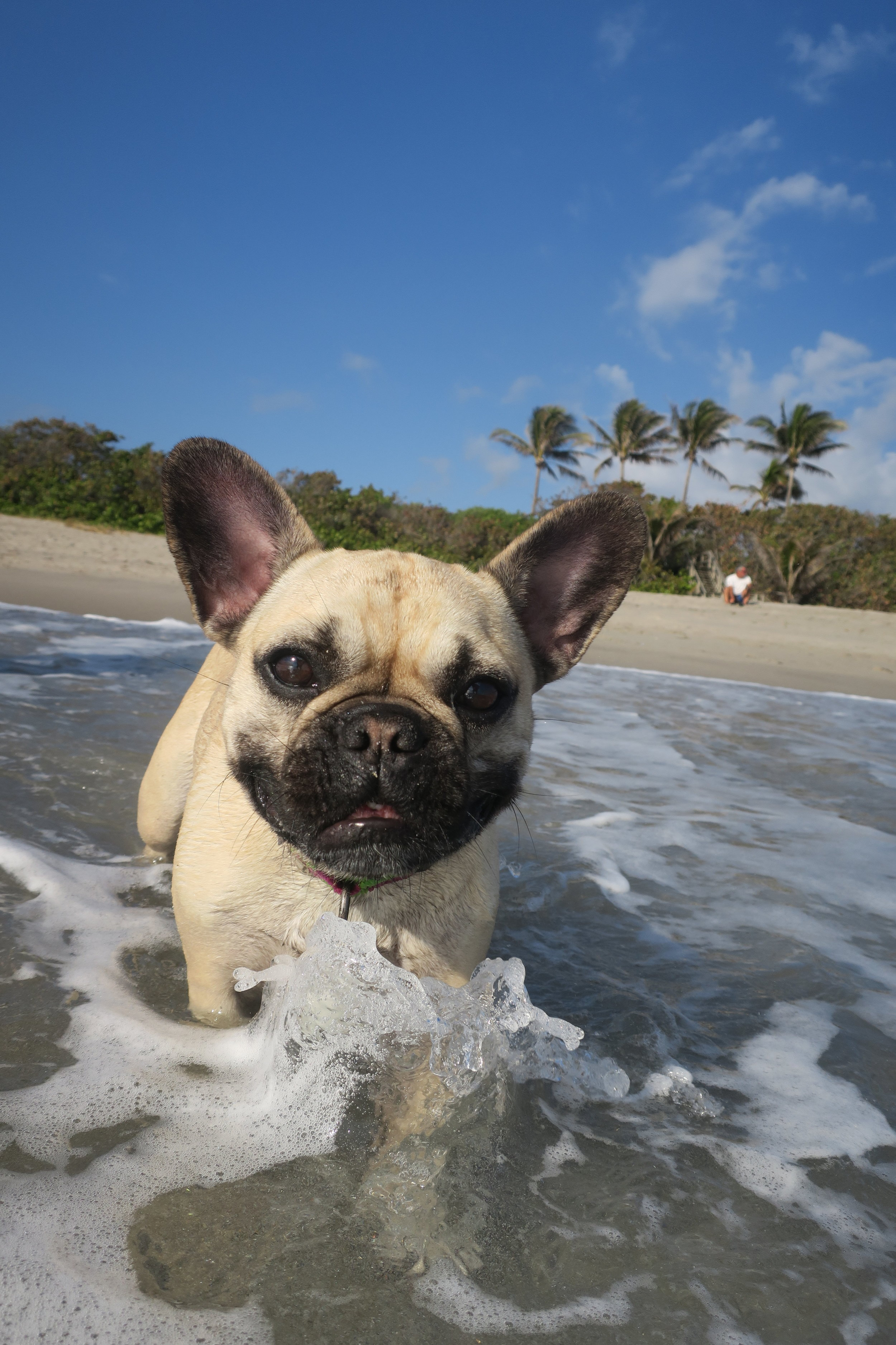 Frenchies can't swim?