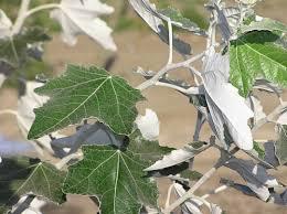 Poplar, foliage