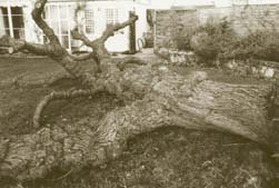 Typical wind-blown mulberry tree close to a house