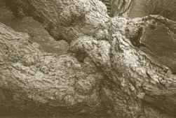A mulberry with heavy figure in the crotch area
