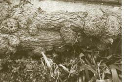 Clusters of burr figuration on a large limb