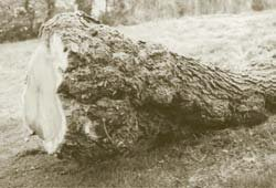 A superb mulberry butt with heavy burr figure