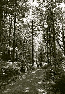 Members stroll through one of Frith Wood's fine oak stands on a glorious summer's day