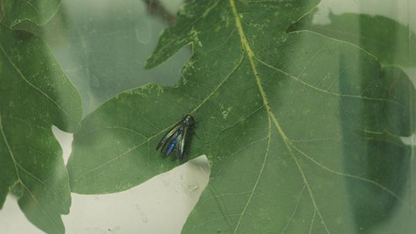 Agrilus on leaf