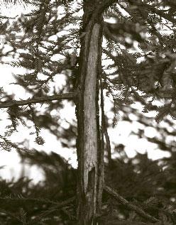 Coast redwood suffering grey squirrel damage