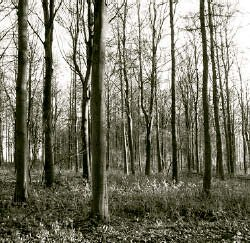 A fine stand of sycamore on the Farnley Hall Estate, where the courses are held.