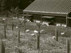 """The novel Silvo-poultry experiment at the Northmoor Trust visited by delegates. These birds are free to roam in new farm woodland. The birds are housed in mobile """"Arks"""" (visible above) powered by solar and wind energy"""